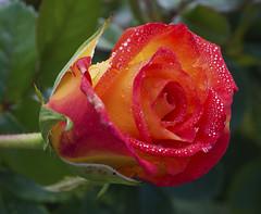 Dew on rose (Explore - 02/12/2017) (nicomadrid12) Tags: rose flower closeup water dew nature fleur eau rosée flor agua rocio naturaleza españa spain