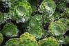 Floral Succulent ((arteliz)) Tags: plant flora plants pattern helios helios442 arteliz artelizphotography succulent succulents houseleek sempervivumarboreum aeoniumarboreum