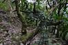 Semele androgyna (L.) Kunth (GaboHQ) Tags: anaga taganana forest laurelforest hike reservadelabiosfera biospherereserve cloudforest flora bosque bosquedelaurisilva laurisilvahúmeda laurisilvaseca canaryislands tenerife vueltasdetaganana sendero trail autumn