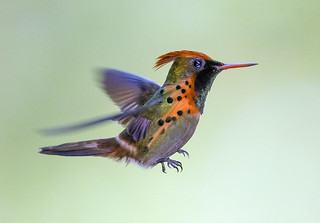 Tufted Coquette Hummingbird, Yerette Hummingbird Sanctuary, San Jose de Oruna - Valle de Maracas, Trinidad.