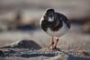 (Sitoo) Tags: baleares estrenc illesbalears majorca mallorca beach bird playa
