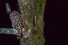 Chinese Leopard Cat (Tim Melling) Tags: prionailurus bengalensis chinensis chinese leopard cat labahe china timmelling