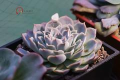 喬瑟琳 (傲慢與偏見) Tags: succulent sony sigma