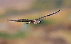 Northern Harrier (knobby6) Tags: northernharrier birdofprey hawk nikond5 600mm 14tc