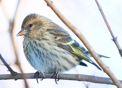 pine siskin at Lake Meyer Park IA 854A0024 (lreis_naturalist) Tags: pine siskin lake meyer park winneshiek county iowa larry reis