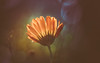 In search of eternity (Dhina A) Tags: sony a7rii ilce7rm2 a7r2 schneider kreuznach xenar 75cm f28 xenar75cmf28 vintage old folding camera bokeh flower
