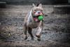 IMG_6787 (oemilio16) Tags: perro dog doggy perros perrito mexico canon calle cdmx ladrar ladrando puppy puppies mark2 5dm2 5dmii yongnuo pitbull df mascotas