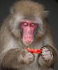 Japanese Macaque Artis BB2A9216 (j.a.kok) Tags: makaak macaque macaca japansemakaak japanesemacaque japan artis aap primaat primate mammal zoogdier dier animal asia azie