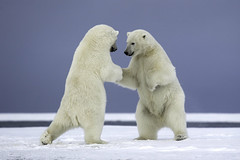 """Very nice to meet you"" (www.studebakerstudio.com) Tags: dance highfive polarbear bear arctic alaska studebaker wildlife nature animal"