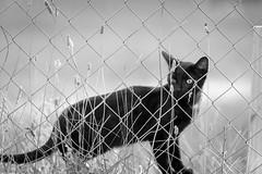 IMG_2015_08_30_2835 (gravalosantonio) Tags: animales gato cat huerto entrerejas byn bn blancoynegro jaca ecologico