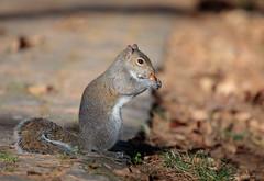 Scoiattolo (Christian Papagni | Photography) Tags: legnano lombardia italia it parco castello squirrel scoiattolo canon eos 5d mark iv ef100400mm f4556l is ii usm