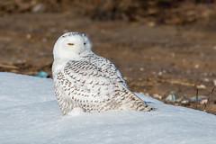 Snowy Owl - Bubo scandiacus (mattbpics) Tags: snowyowl owl raptor nature wildlife nwr stewartmckinney canon 70d tamron 150600 150600mm