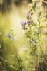 Summer thoughts (Rita Eberle-Wessner) Tags: zaunwicke viciasepium schmetterlingsblütler blume flower pflanze plant macro bokeh violett wiesenblume wiese meadow summer sommer