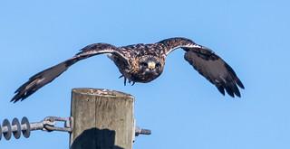 IMG_1502 Rough Legged Hawk at Tantramar Marsh