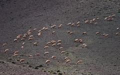 Sheep 31 (orientalizing) Tags: animals antiatlas desert desktop domesticates featured grazing issafn landscape morocco sheep wadiissafn