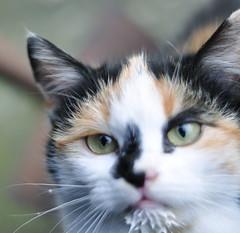 Milk cat (Noeffusion) Tags: kitten milk chaton chatons chat d9 nikon lait mignon kawai