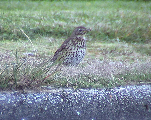 Turdus philomelos (Song Thrush) - introduced