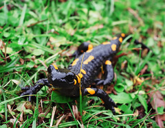 Salamandra at the stone and green grass at the Carpatian mountains (mironenko1990) Tags: salamander salamandra fire yellow animal amphibian black nature spots wild wildlife species fauna warning poisonous newt wet tail poison amphibious isolated orange vertebrate beautiful striped spring forest stone reptile creature green spotted karpaty carpatian carpaty