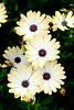 Osteospermum 'Sunny Amanda' (Alan Buckingham) Tags: africandaisy capedaisy daisylike flower osteospermumsunnyamanda rhswisley yellow