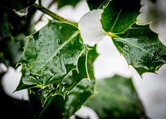 8214 (1 of 1) (sallyjane6) Tags: snow snowyday newlife buds winter bedford holly macro closeup