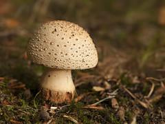 Parelamaniet - Clingendael (mariandeneijs) Tags: parelamaniet amaniet amanitarubescens paddenstoel paddestoel bos park mushroom fungi toadstool clingendael landgoedclingendael landgoed