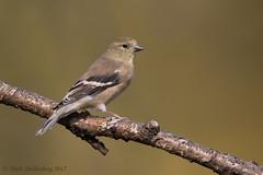 American Goldfinch (Matt Shellenberg) Tags: american goldfinch americangoldfinch