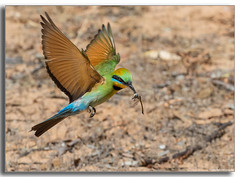 Pretty Rainbows... (Mykel46) Tags: tailembend southaustralia australia au rainbow bee eater bif birds nature insect flight flying green blue red yellow orange bokeh blur background outside outdoors outdoor