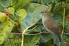 Lesser Antillean Bull Finch (female) (ronmcmanus1) Tags: antigua bird caribbean nature outdoors wildlife jollyharbour stmarysparish antiguabarbuda