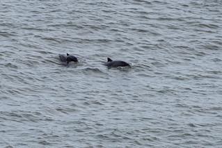Porpoises at Black Head