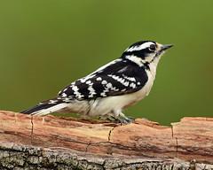 DSC_3019=2Downy-Explored (laurie.mccarty) Tags: woodpecker downy wildlife bird bokeh birding animal macro tree wood nature
