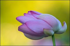 Make Me Bend (Nikographer [Jon]) Tags: lotus bend break strength 20170730d500081715 kag d500 nikon summer jul july 2017 athousandwords