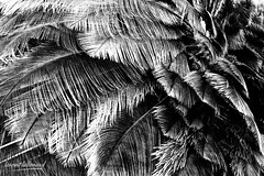810_2313.jpg (Laurent LALLEMAND) Tags: kenya continentsetpays autruchedafrique afrique baringo struthiocamelus struthionidae struthioniformes oiseaux texture africa ke ken