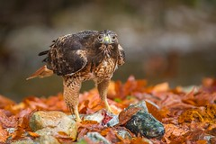 _V2A4590 (Confusion_Circle) Tags: hawk park red salmon tailed