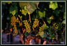 StateFair_3595 (bjarne.winkler) Tags: 2017 california state fair castatefair no sour grapes here