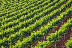 Vinograd kod Vižinade (MountMan Photo) Tags: vižinada istra croatia vinograd ljeto landscape