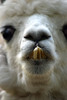 Dental Hygienist Wanted (MTSOfan) Tags: alpaca teeth face orthodontia hygienist dentist vertical
