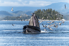 More Than A Mouthful (Richard Davy - The World As I See It) Tags: humpbackwhale humpback whale cetacean mammal sea ocean canada wildlife birds gulls feeding island trees sky outdoor mouth tongue