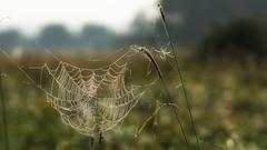 *** (pszcz9) Tags: przyroda nature natura pajęczyna spiderweb cobweb rosa dew dewdrop bokeh zbliżenie closeup beautifulearth sony a77 samyang