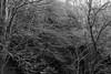 intrico (enrico sprea) Tags: intrico bosco rami foresta faggi piante chioma terzalpe cornidicanzo prealpi lombardia provinciadilecco triangololariano lagodicomo riservanaturaledelsassomalascarpa colmadivalravella gajum allaperto pentaxlife sentiero trekking intreccio bwartaward biancoenero blackandwhite monocromo luci ombre sole primavera riflessi canzo valassina boscaglia selva macchia corteccia tronco fusti camminare crescita italia natura montagna monti astratto incrocio folto legno albero alberi erba controluce controsole