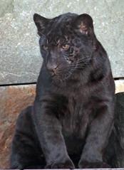 jaguarcub artis BB2A3938 (j.a.kok) Tags: jaguar jaguarcub jaguarwelp pantheraonca zwartejaguar blackjaguar artis animal zuidamerika southamerica kat cat mammal predator zoogdier dier