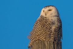 Snowy Owl (davezimmerman906) Tags: arctic white owl snowyowl