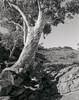 River Red (GrisFroid) Tags: landscape tree redgum southaustralia flinders largeformat 4x5 film monochrome bw chamonix 45n2 nikkor 90mm f45 ilford delta 100