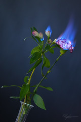 """Burning Flower 3 • <a style=""""font-size:0.8em;"""" href=""""http://www.flickr.com/photos/56830416@N05/24955527878/"""" target=""""_blank"""">View on Flickr</a>"""