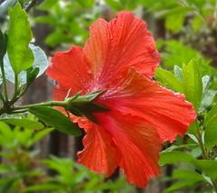 After welcome rain (boeckli) Tags: flowers hibiscus red flower rot plants plant pflanzen pflanze wet nass regen regentropfen rain raindrops outdoor blume blumen blüten bloom blossom blossoms blooms