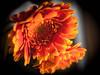 Need some colors... (ursulamller900) Tags: pentacon2829 gerbera orange colorful flower blume