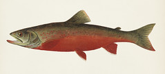 Canadian Red Trout illustrated by Sherman F. Denton (1856-1937) from Game Birds and Fishes of North America. Digitally enhanced from our own 1913 Portfolio Edition of the book. (Free Public Domain Illustrations by rawpixel) Tags: fishesofnorthamerica gamebirdsandfishesofnorthamerica otherkeywords shermanfootedenton america american ancient antique aquatic artwork canadianredtrout commercialfish denton drawing ediblefish fishes illustration male marine native northamerica northamerican old painting publicdomain retro shermandenton shermanfdenton trout underwater vintage