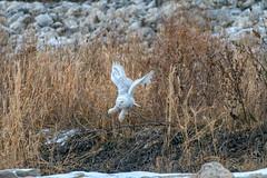 SnowyFlight (jmishefske) Tags: december 2017 nikon owl lakefront wisconsin bird shore snowy milwaukee d500 bif lakemichigan