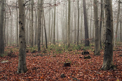 In the Woods (Netsrak) Tags: baum eifel europa europe herbst landschaft natur nebel wald autumn fall fog landscape mist nature woods bäume