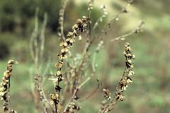 Weeds22.tif (NRCS Montana) Tags: weeds noxious houndstongue