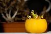 Butternut Squash (tomtom1971) Tags: beheaded butternutsquash squash sprouting